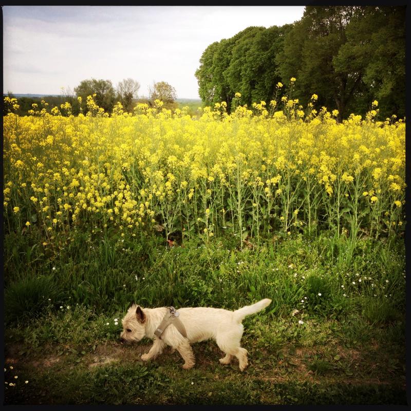 2014 april chien et Chateau du Petit Thouars yellow flowers field